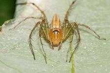Orange Lynx Spider Stock Image