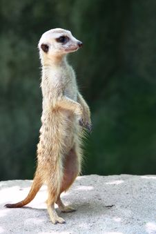 Free Meerkat Stock Photos - 7891363