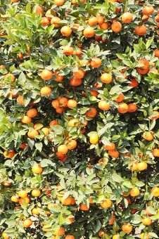 Free The Small Orange Tree Royalty Free Stock Photo - 7891605