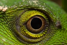 Free Green Lizard - Polychrotidae Or Anoles Royalty Free Stock Image - 7891716