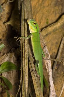 Free Green Lizard - Polychrotidae Or Anoles Royalty Free Stock Photo - 7891765