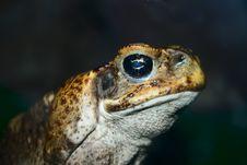 Closeup Face Of Big Toad