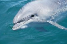 Free Closeup Bottlenosed Dolphin Head Stock Images - 7892524