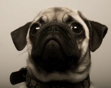Free Puppy Pug Stock Photography - 7894252