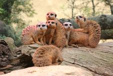 Free Meerkat Family Get Together Stock Photography - 7894532
