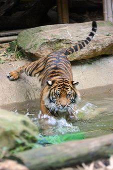 Free Tiger Swimming & Eyes Wide Shut Stock Images - 7894654