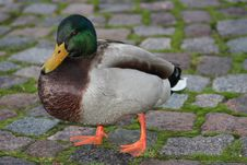 Free Duck On Duck-board Stock Photos - 7895333
