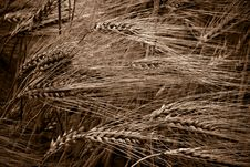 Free Wheat Field Stock Images - 7895354