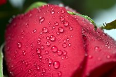 Free Beautiful Red Rose With Water Droplets Royalty Free Stock Photos - 7895488