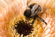 A Bumble-bee Collects Pollen On Stock Photos