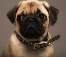 Free Puppy Pug Stock Photo - 7895820