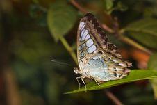 Butterfly - Parthenos Sylvia Lilacinus Stock Photos