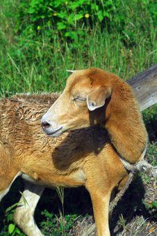 Free Sheep Royalty Free Stock Photos - 7897858