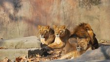 African Lion Family Stock Photo