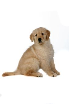 Free Cute Golden Retreiver Puppy Sitting Stock Images - 7897994