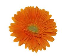 Free Orange Gerbera Isolated On White Royalty Free Stock Photos - 7898048
