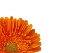 Free Orange Gerbera Isolated On White Royalty Free Stock Images - 7898079