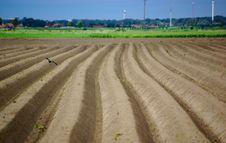 Free Lapwing Potato Field Royalty Free Stock Photos - 7898118