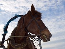 Harnessed Horse Royalty Free Stock Photography