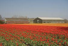 Free Tulip Field Stock Image - 7898291