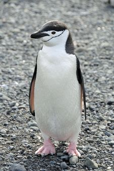 Free Chinstrap Penguin Royalty Free Stock Image - 7898366