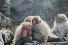 Free Japanese Macaque Family Stock Photography - 7899222