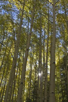 Free Sunburst Through Aspens Royalty Free Stock Images - 7899239
