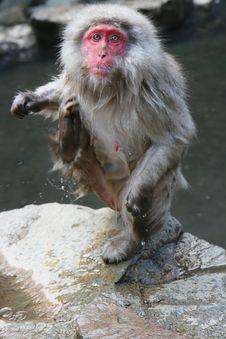 Japanese Onsen Monkey In Nagano Stock Images