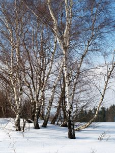 Free Birch Trees In Winter Royalty Free Stock Photography - 7899327