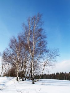 Birch Trees In Winter Royalty Free Stock Image