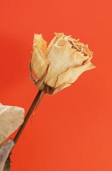 Free Dry White Rose Stock Photo - 7899500
