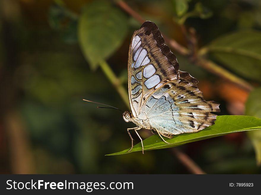 Butterfly - Parthenos sylvia lilacinus