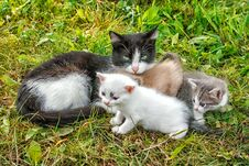 Free Cat With Three Kittens Walking On Grass Stock Photo - 78935100