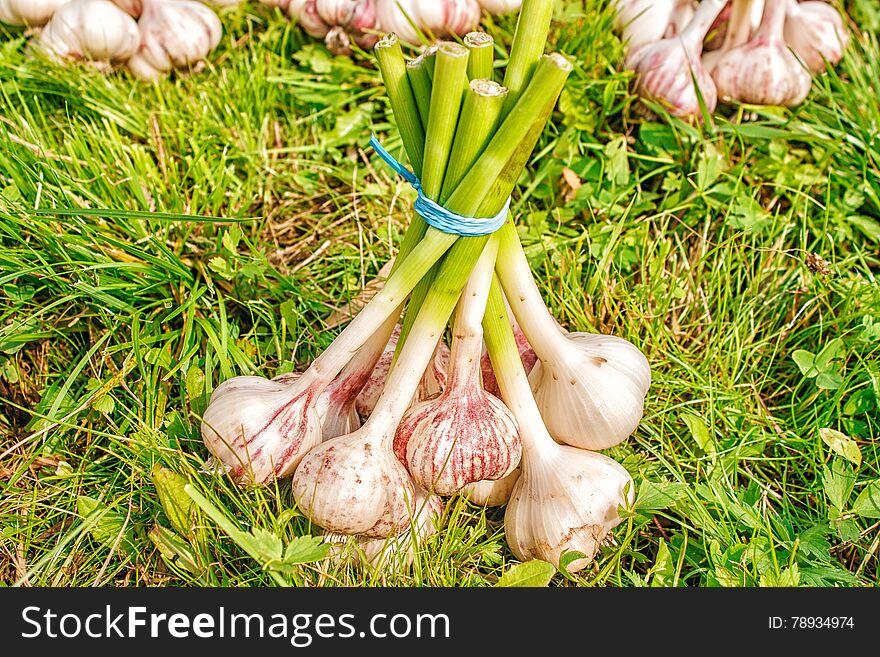 One bundle of garlic lying on the grass