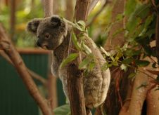 Free Young Koala Bear Stock Photo - 790300