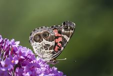 The Painted Lady! Stock Images