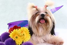 Posing Shih-tzu Royalty Free Stock Photo