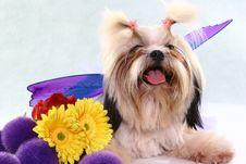 Free Posing Shih-tzu Royalty Free Stock Photo - 791065