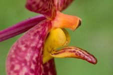 Orchid Close-up Royalty Free Stock Photography