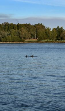Swan River Dolphins Stock Photography