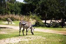 Free Zebra Stock Photography - 792722