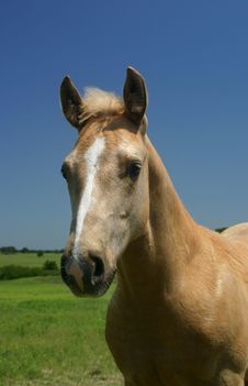 Free Palomino Colt Stock Images - 793084