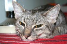 Free Cat Royalty Free Stock Photo - 793085