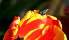 Fly On Tulip Royalty Free Stock Photo