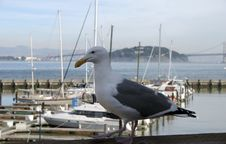 Free Sea Gull Stock Photos - 793343
