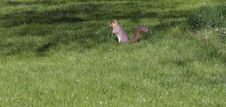 Free Squirrel Standing Stock Image - 793351