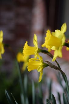 Free Yellow Flowers Royalty Free Stock Image - 793486