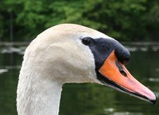 Free Swan Portrait Royalty Free Stock Images - 793539