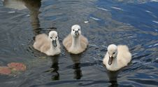 Free Three Playful Cygnets Stock Images - 793574