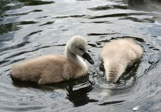 Free Two Cygnets Royalty Free Stock Image - 793596